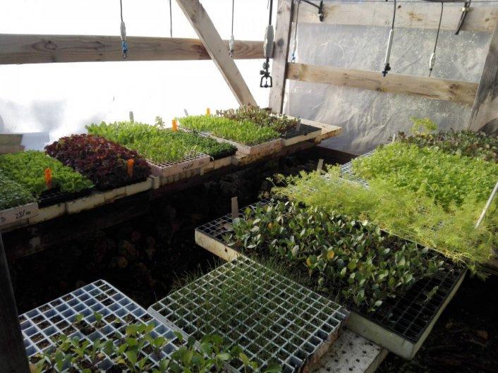 שתילי ירקות בחממה של רדזינר