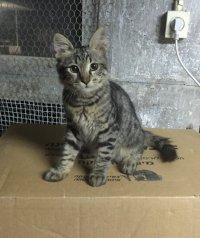 הלך לאיבוד חתול חמוד בן 5 חודשים עם רצועה צהובה
