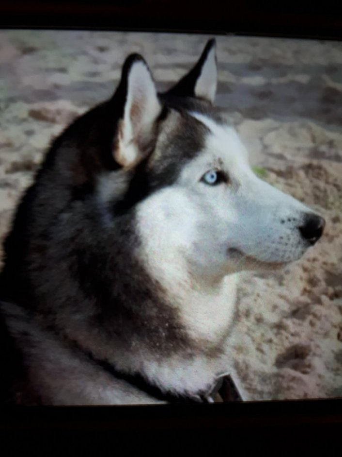 למסירה כלב הסקי סיבירי