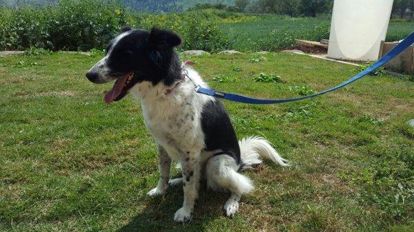 מסירת כלב לאימוץ - מעורבת בורדר קולי עם סלוקי, בת 6. חייבת מרחבים.