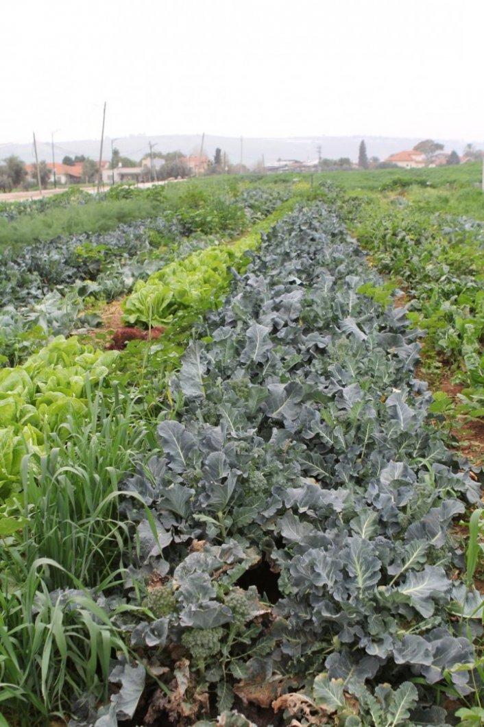 סל ירקות אורגני וטרי מהשדה עד פתח הבית עם ערך מוסף