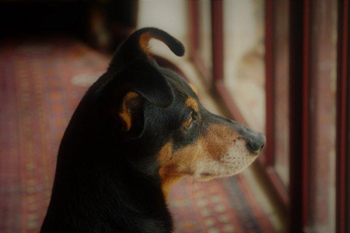 אבד כלב